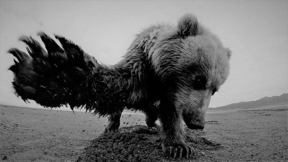 День 410. Тридцать девять медвежьих треков за год… между делом…